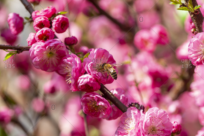 Bee on pink blossom of almond tree with