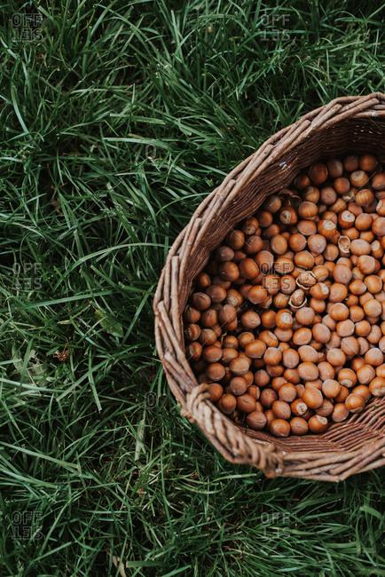 A basket of hazelnuts sitting in a grassy field.