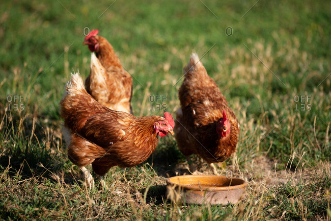 Brown hens drinking water and grazing while walking on green grass of farmyard on sunny day on ranch