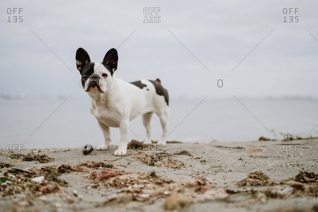 Adorable French Bulldog standing on sand near waving sea on gray day on beach