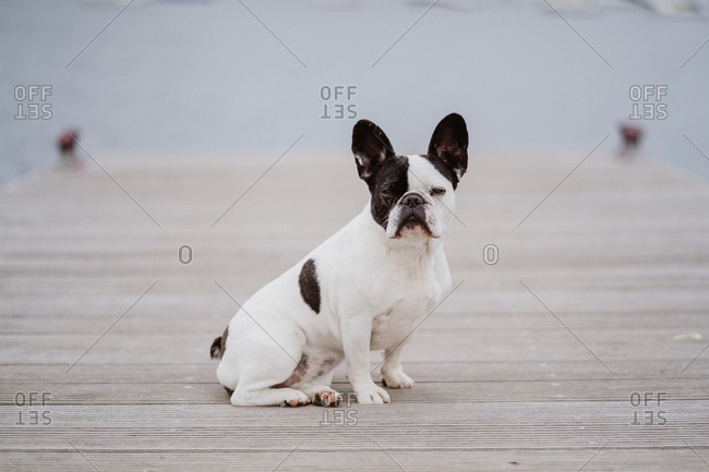 Adorable French Bulldog sitting on wooden pier near waving sea on gray day on beach