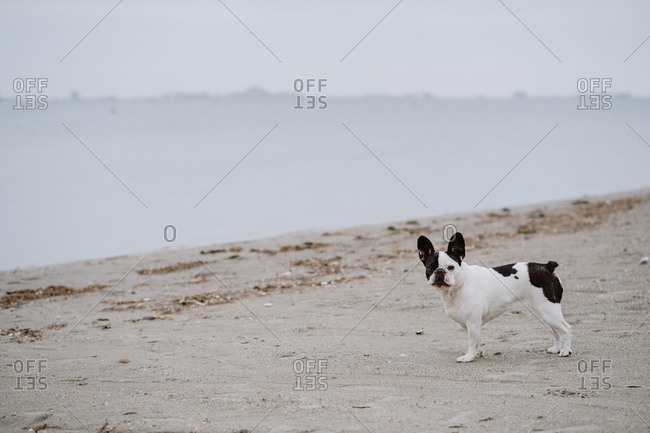 Spotted French Bulldog standing on sandy shore near calm sea on dull day