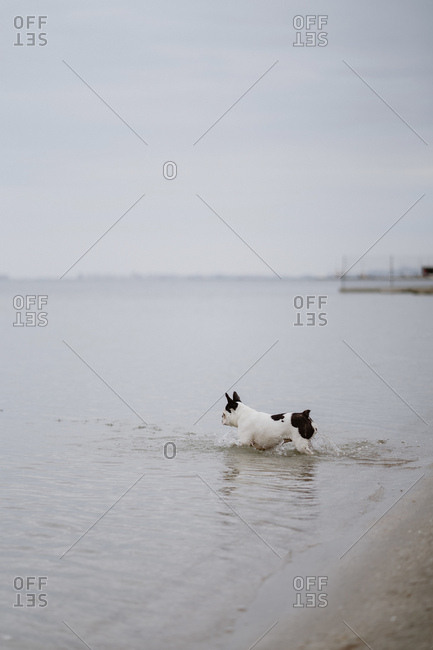 Spotted French Bulldog running on sandy shore inside sea on dull day