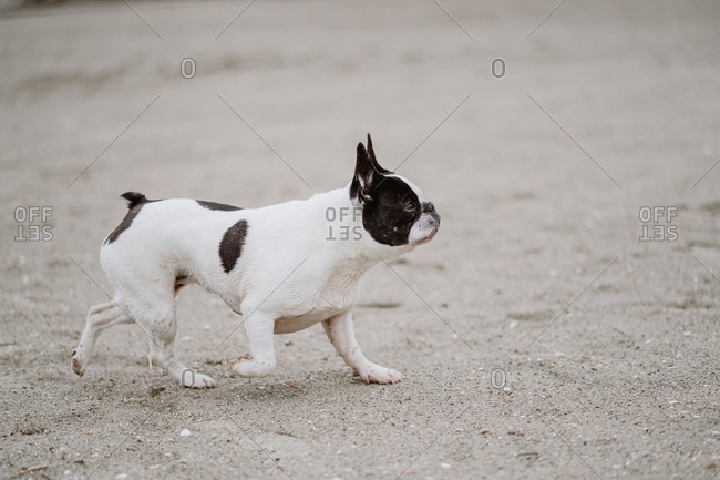 Spotted French Bulldog running on sandy shore near calm sea on dull day