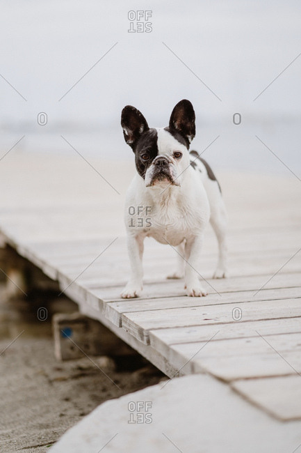 Adorable French Bulldog standing on wooden pier near waving sea on gray day on beach