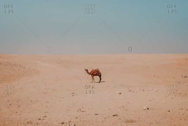 camel with ornamental saddles standing in desert near Cairo, Egypt