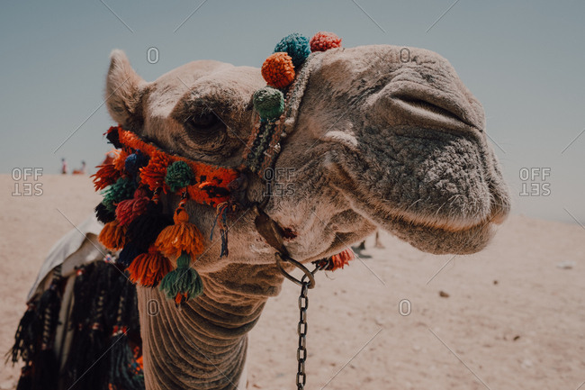 camel with ornamental saddles standing near camera while traveling with caravan in desert near Cairo, Egypt