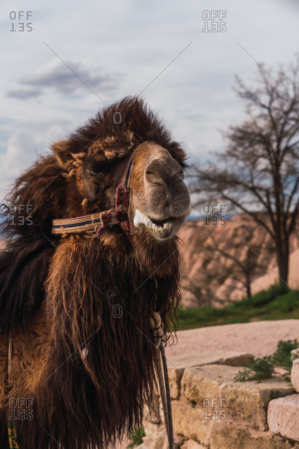 Woolly camel with ornamental saddle standing against hills and cloudy sky in Cappadocia, Turkey