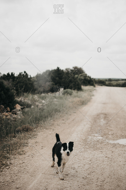 Adult pretty furry purebred dog walking on dirty road with puddles in nature