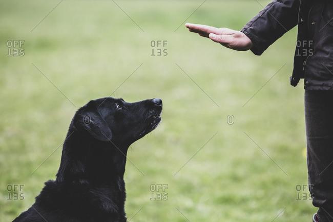 A dog trainer giving a hand command to Black Labrador dog.