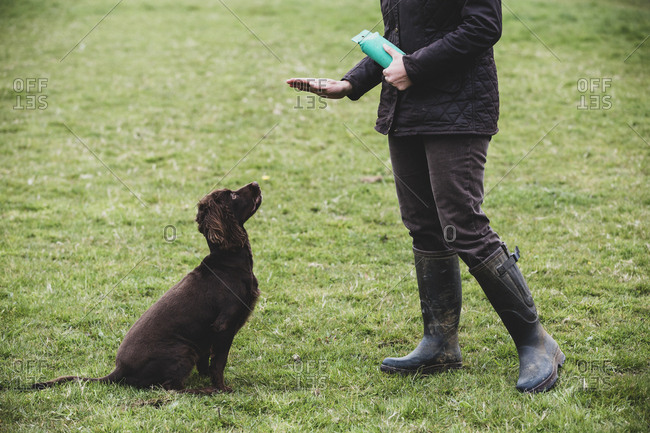 Person standing outdoors, giving hand command to Brown Spaniel dog.