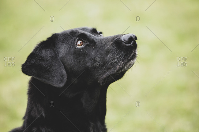 Close up of a Black Labrador dog.