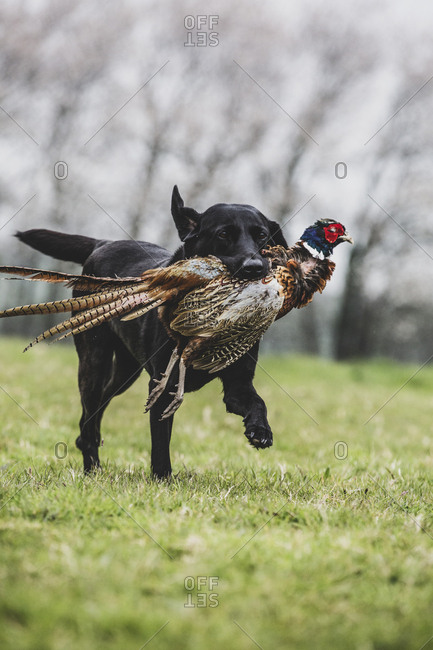 Black Labrador dog running across a field, retrieving pheasant.