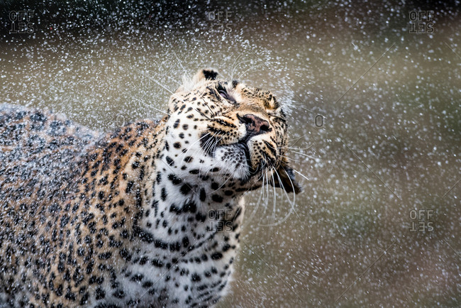 A leopard, Panthera pardus, shakes the water off itself, droplets of water in the air, eyes closed