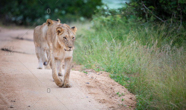 A lioness, Panthera leo, walks towards the camera on a sand road, looking out of frame, front leg raised