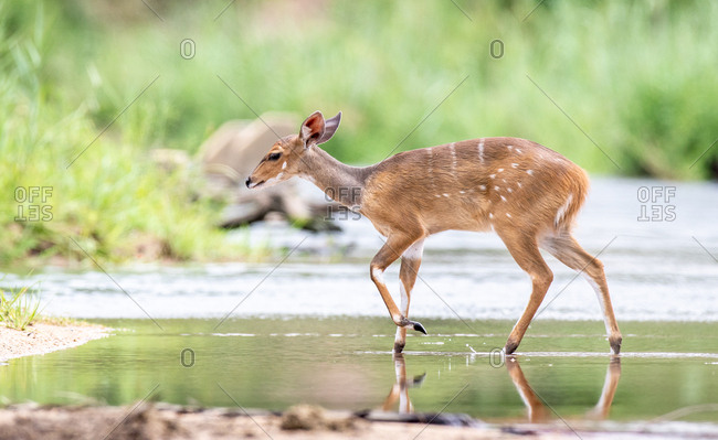 A bushbuck, Tragelaphus sylvaticus, walks across a still stream, ears back, looking out of frame, greenery in background