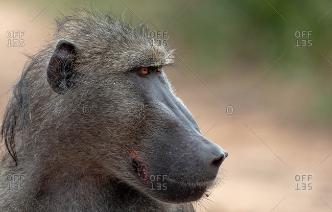 The side profile of the head of a baboon, Papio ursinus, looking out of frame