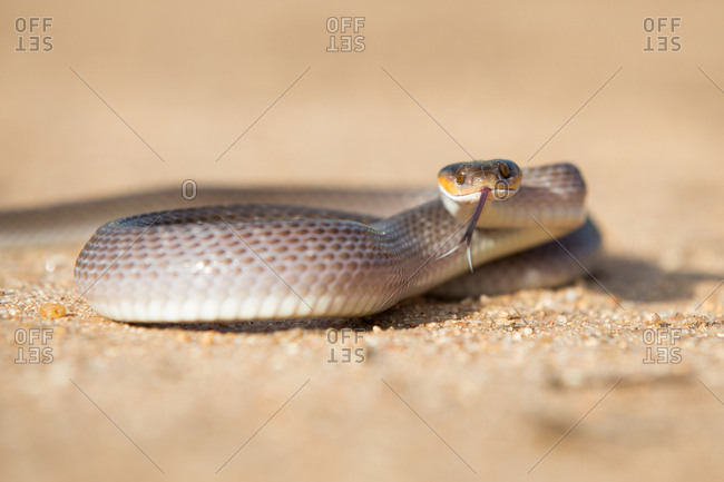A herald snake, Crotaphopeltis hotamboeia, coils in the sand, direct gaze with tongue out