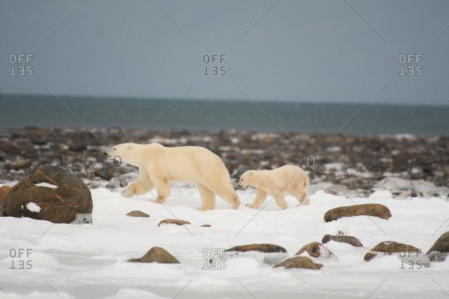 A polar bear female and cub fleeing from a male bear on the Hudson bay