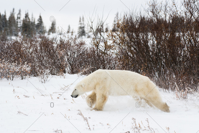 A polar bear male running before sparing with another male bear.