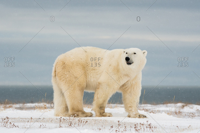 A polar bear big male sniffing and the Hudson bay is his background