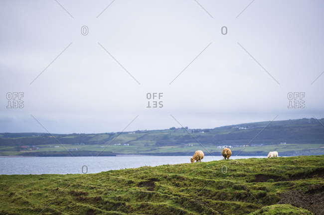 Cows out to pasture in Ireland
