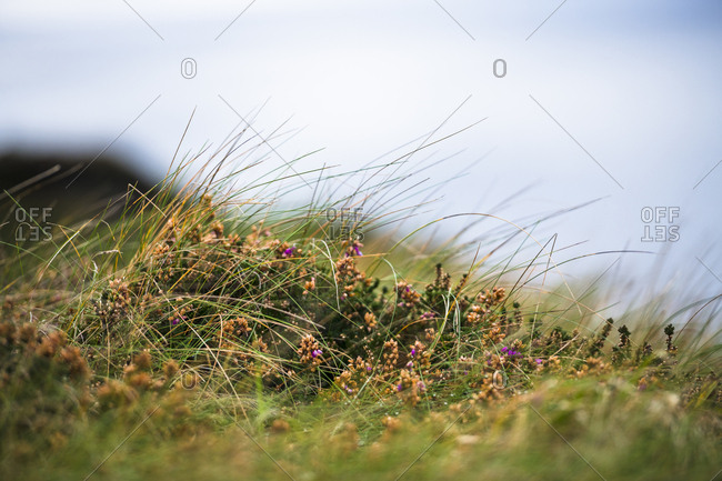 Grass detail from a hike at Cliffs of Moher