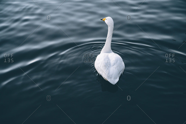 Beautiful light swan on water surface