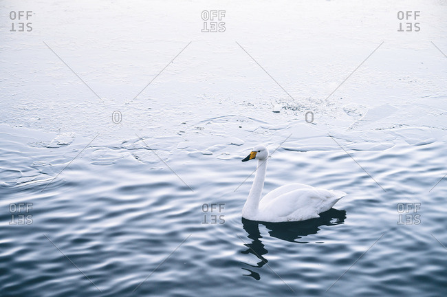 Beautiful swan on water surface