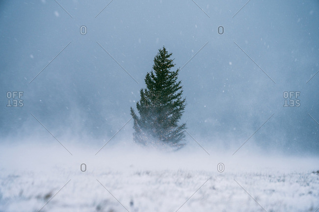Coniferous tree between field in snow and amazing blue sky
