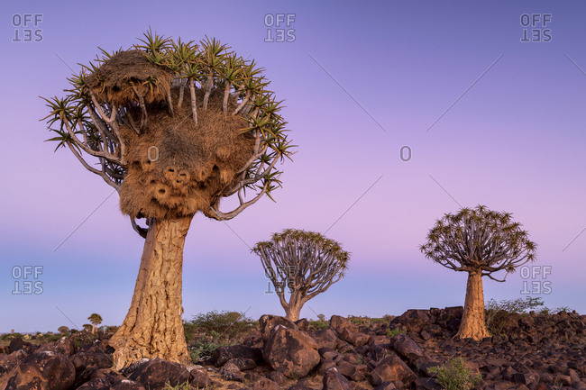 A weaver bird nest in a quiver tree in Namibia