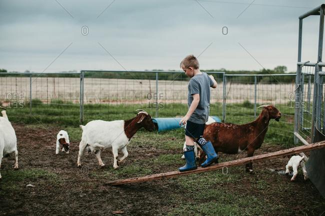 A boy walking in a goat pen