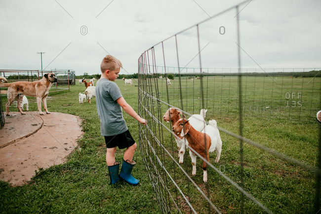 Young boy looking at goats