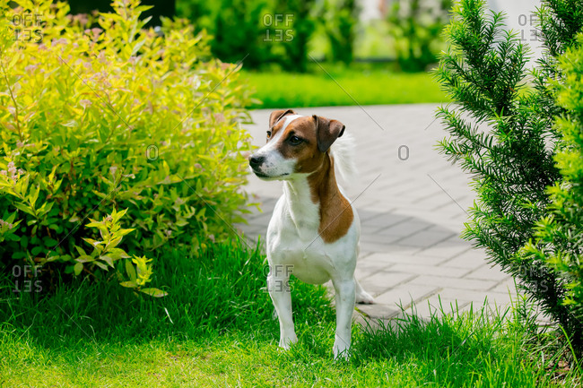 Small dog of the breed of jack russell terrier in the meadow