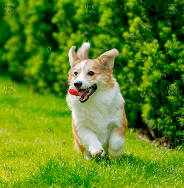 Small Corgi running through a lush green meadow with its tongue out