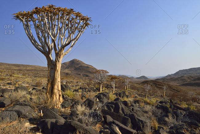 Africa- Namibia- Namib Naukluft mountains- Namib Desert- Quiver tree- Aloe dichotoma