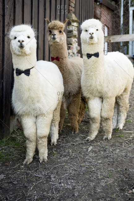 Portrait of three tame alpacas wearing bow ties