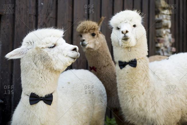 Three tame alpacas wearing bow ties