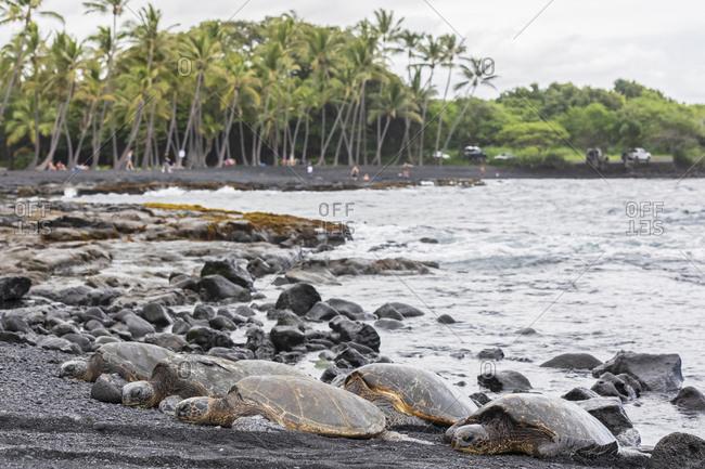 USA- Hawaii- Big Island- Green Sea Turtles on Punalu'u Black Sand Beach