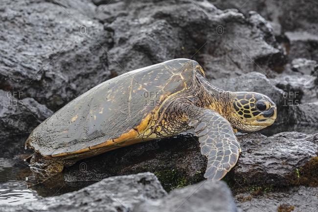 USA- Hawaii- Big Island- Green Sea Turtle on Punalu\'u Black Sand Beach