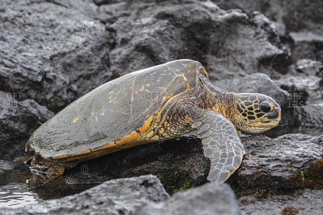 USA- Hawaii- Big Island- Green Sea Turtle on Punalu'u Black Sand Beach