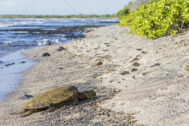 USA- Hawaii- Big Island- Green Sea Turtle on beach at Honokohau Small Boat Harbor