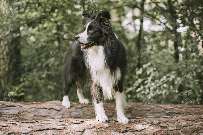 Border Collie on tree log in the forest