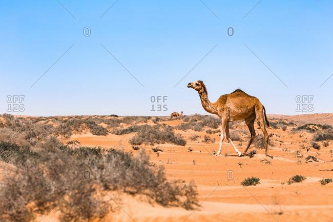 Dromedary in Wahiba sands desert- Oman