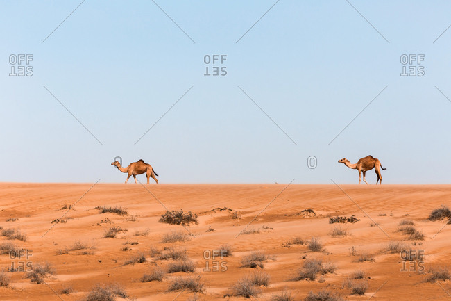Dromedaries in Wahiba sands desert- Oman