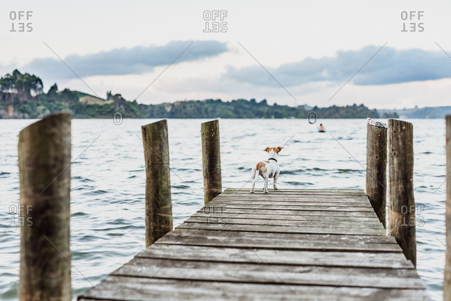 Dog looking out to lake from wooden dock