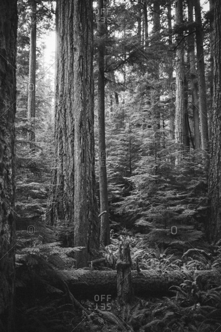 Black and white image of a forest in Seattle