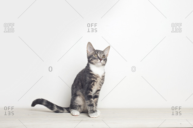 Domestic cat on white background looking to the right