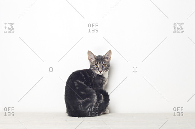Domestic cat sitting and looking straight into the camera