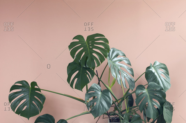 Monstera plant on pink background